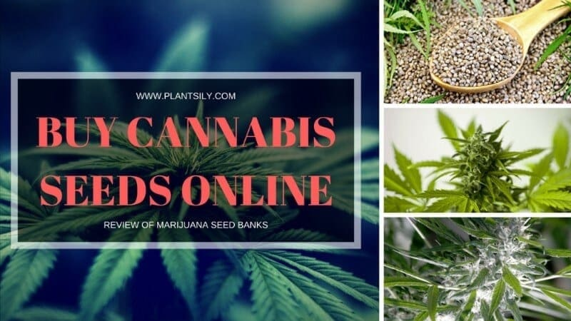 buy cannabis seed banks online