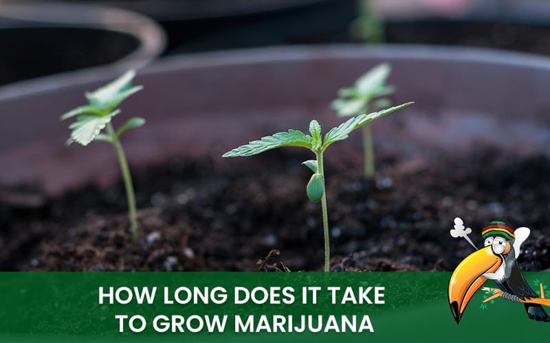 How Long Does It Take To Grow Marijuana Find All Infos Here