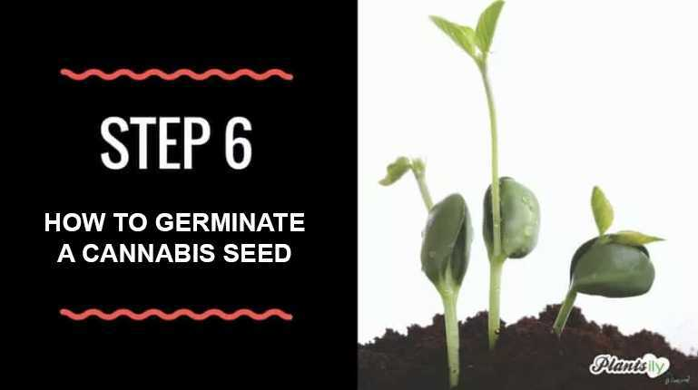 how to germinate a cannabis seed