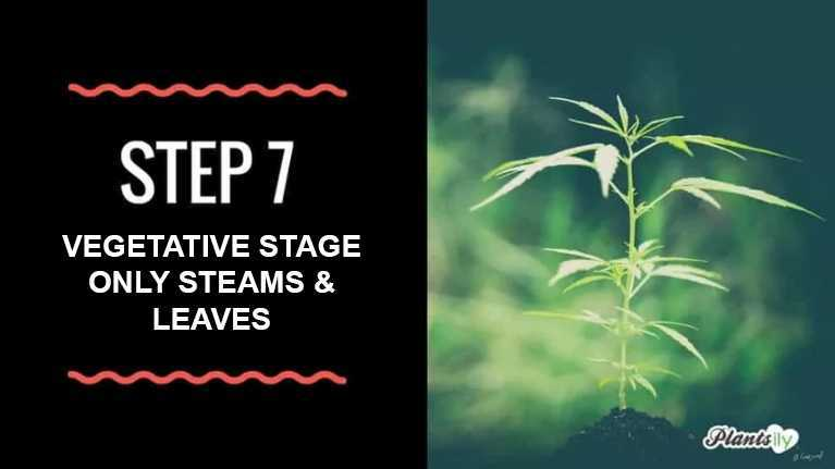 vegetative stage only steams and leaves