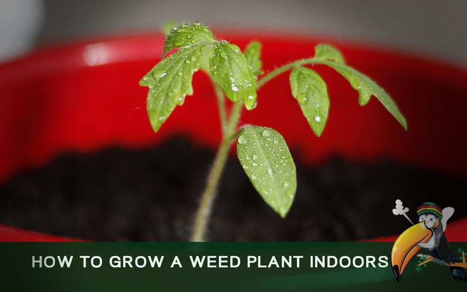 How To Grow a Weed Plant Indoors