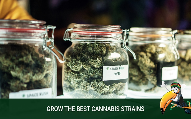 Choose to Grow the Best Cannabis Strains You Can Find